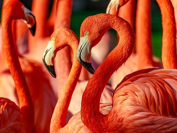 Pink Flamingo at San Diego Zoo